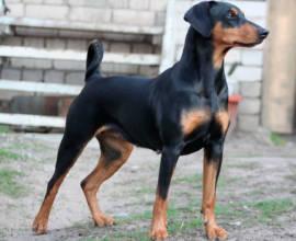 порода собак немецкий пинчер