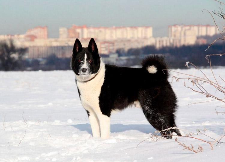 Русско-европейская лайка (РЕЛ): описание породы с фото и видео