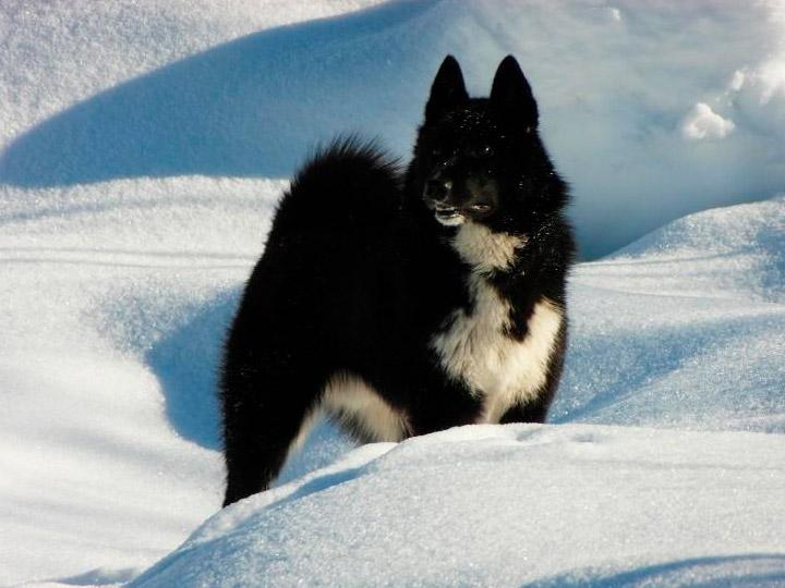 порода собак Русско-европейская лайка