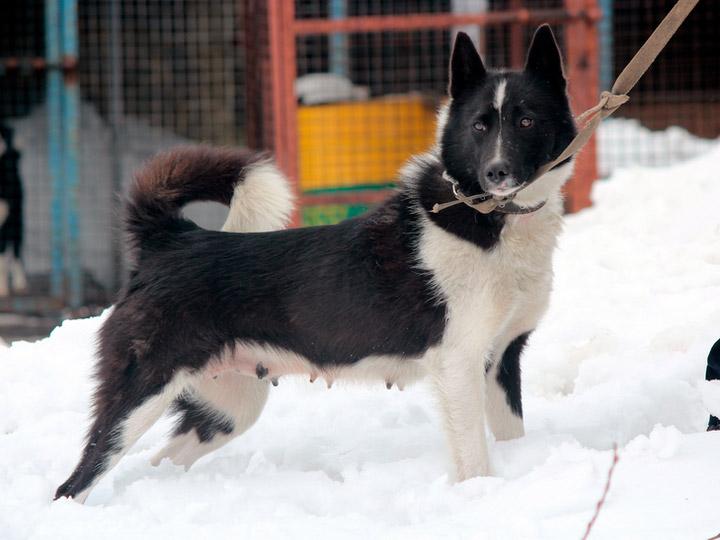 Русско-европейская лайка собака