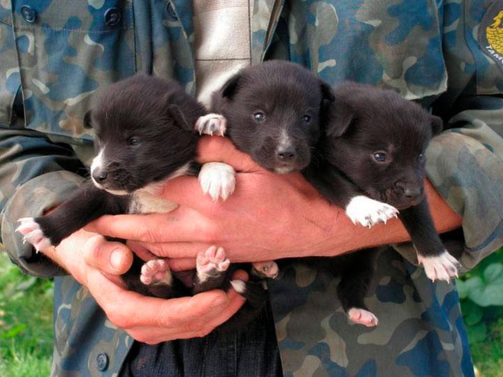 три щенка РЕЛ