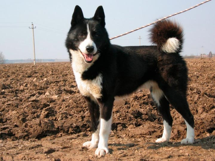собака породы Русско-европейская лайка