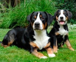 Взрослый энтлебухер зенненхунд и щенок