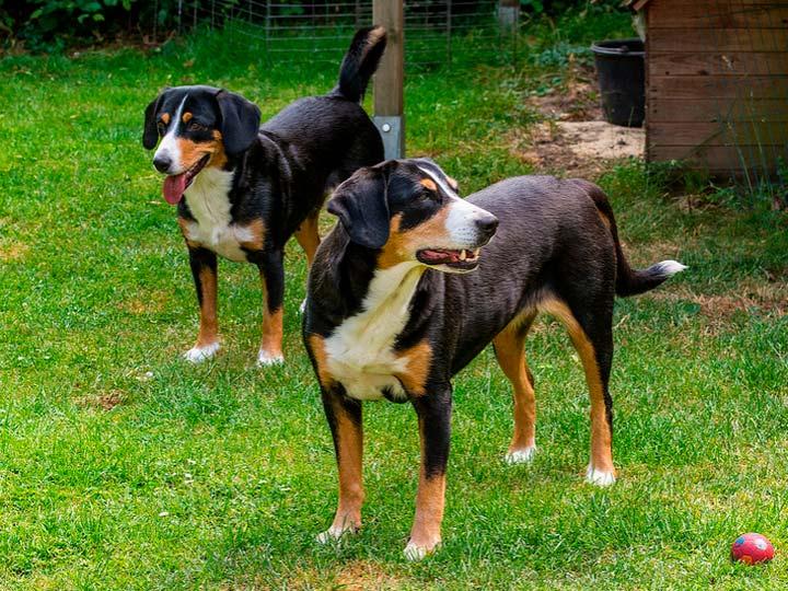 порода собак Энтлебухер зенненхунд