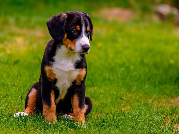 Энтлебухер зенненхунд щенок цена