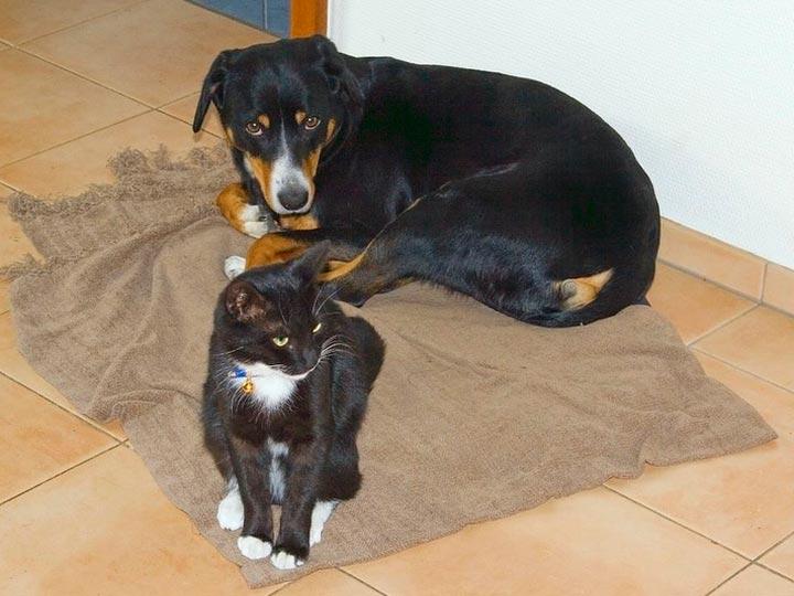 Энтлебухер зенненхунд и кошка