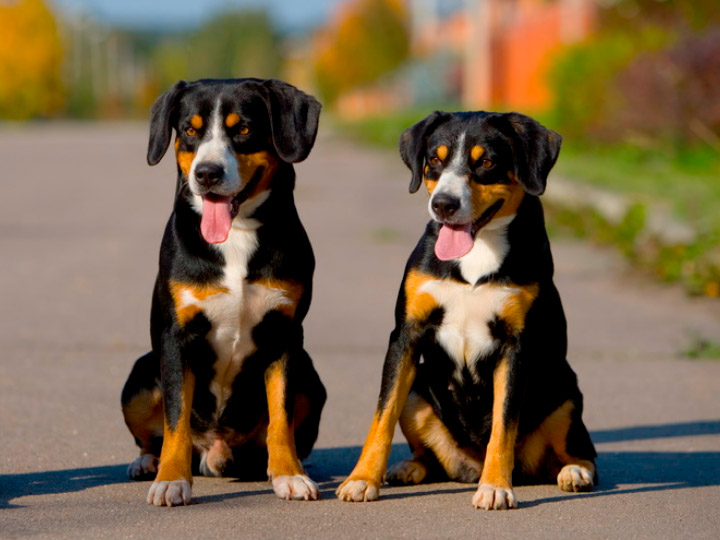 пара собак породы Энтлебухер зенненхунд