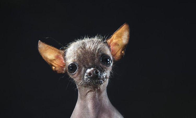 Маньчжурская лысая собака