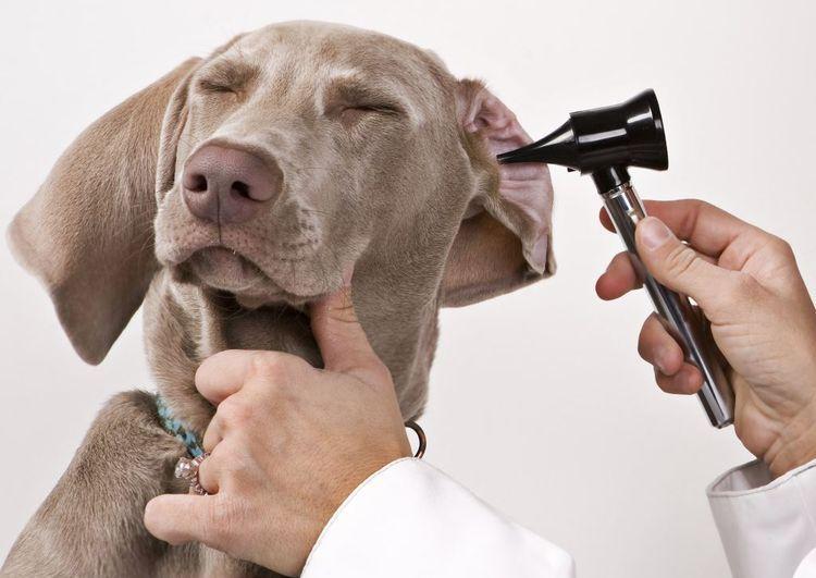 Проверка ушей у собаки
