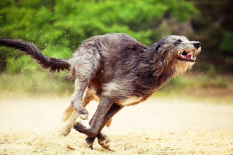 Дирхаунд – шотландская оленичья гончая