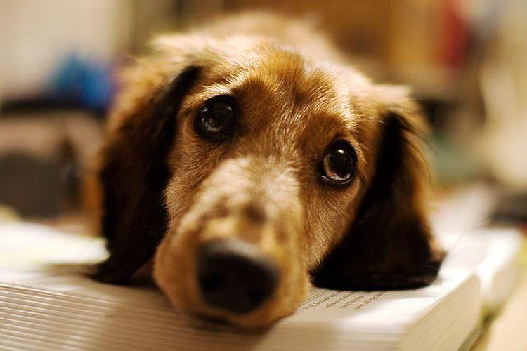 Прививка щенку от чумки когда и как делать