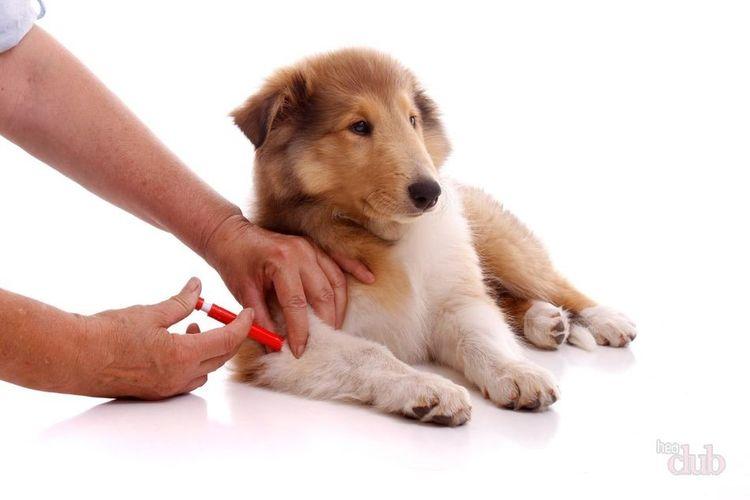 Прививка щенку