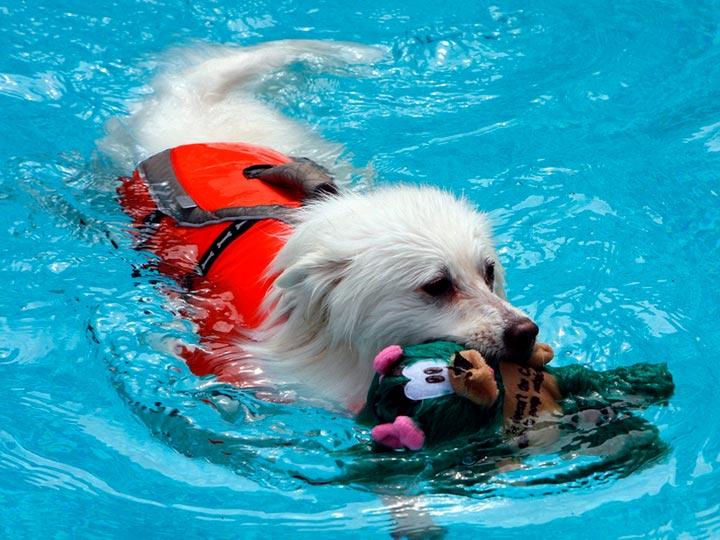 Американский шпиц плавает