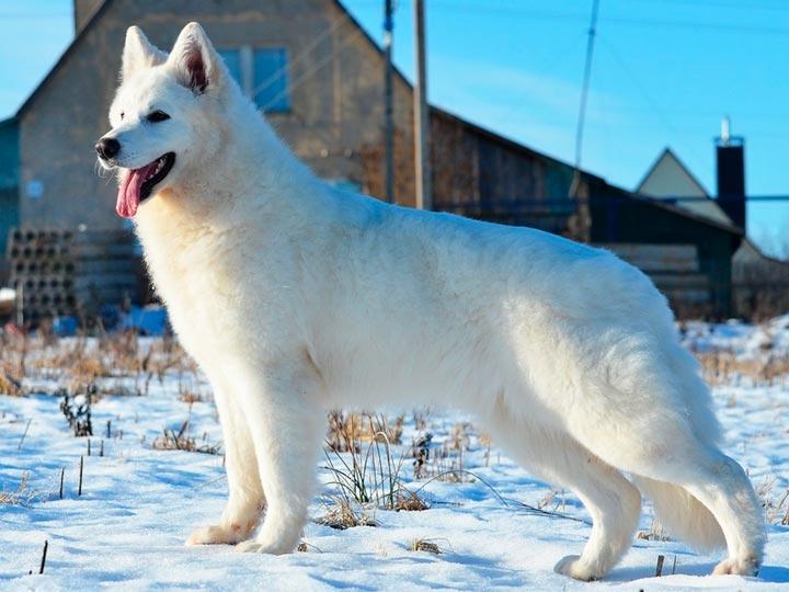 Белая швейцарская овчарка характер