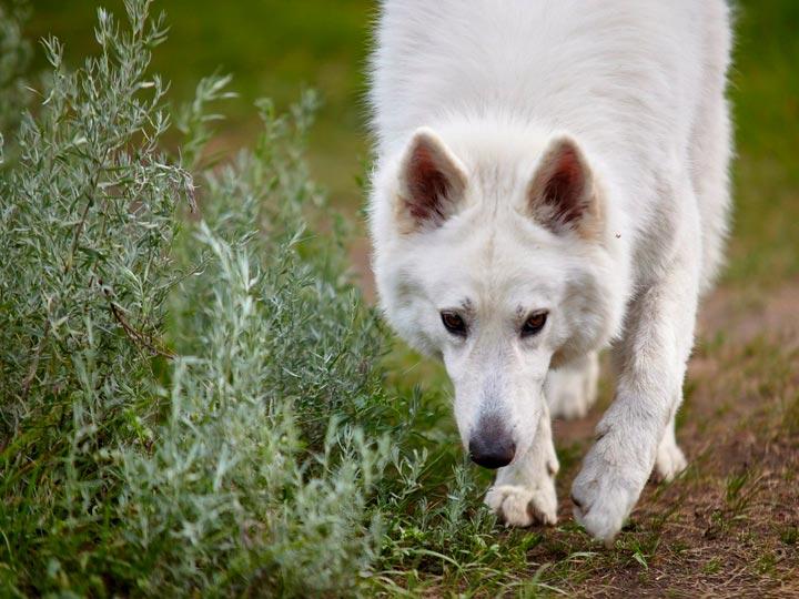 собака породы Белая швейцарская овчарка