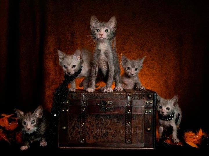 котята породы ликой