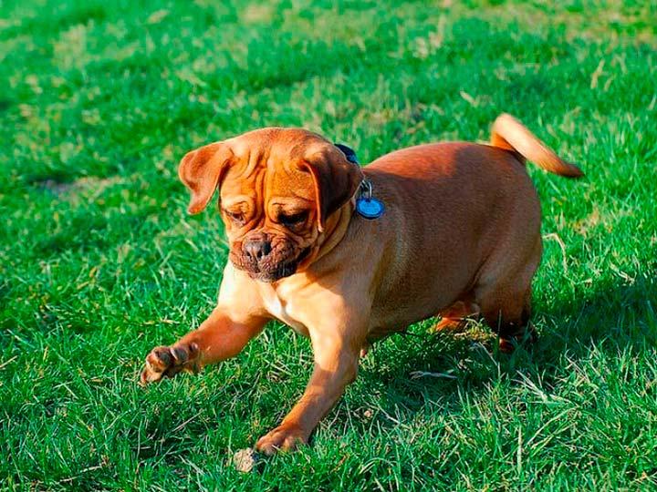 собака породы пагль