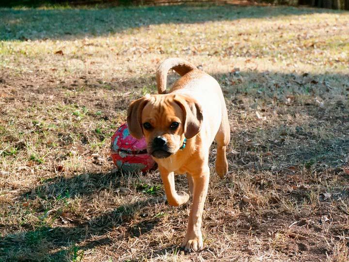 фото собаки пагль