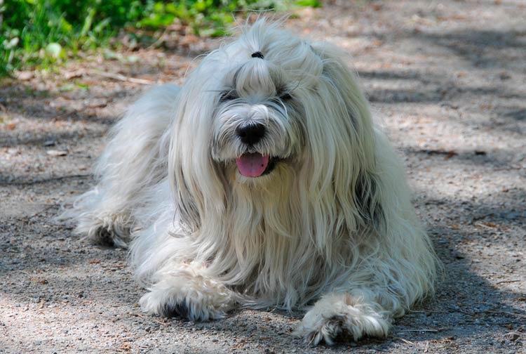 собака породы тибетский терьер