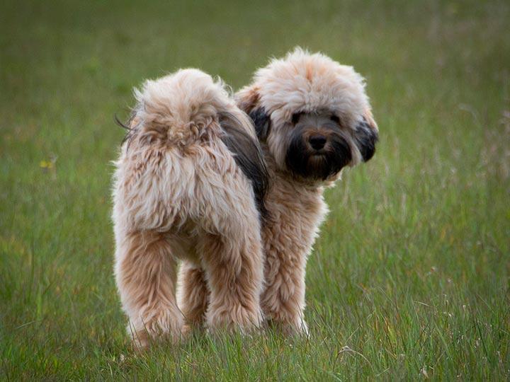 тибетский терьер щенок