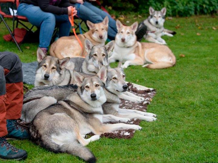 волчья собака Сарлоса питомник