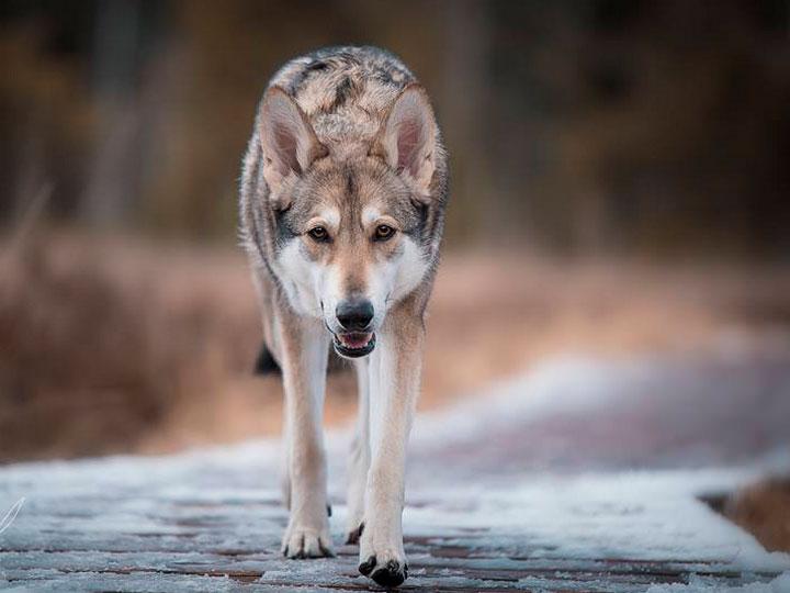 волчья собака Сарлоса где купить