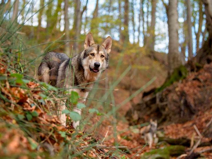 волчья собака Сарлоса отличия