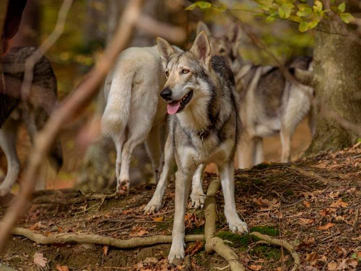 волчья собака Сарлоса на фото