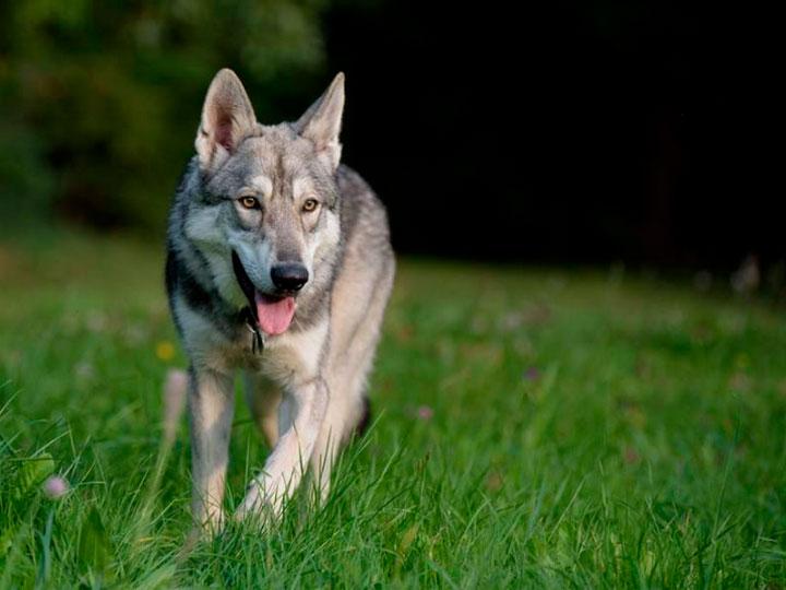 волчья собака Сарлоса порода