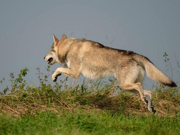 волчья собака Сарлоса цена