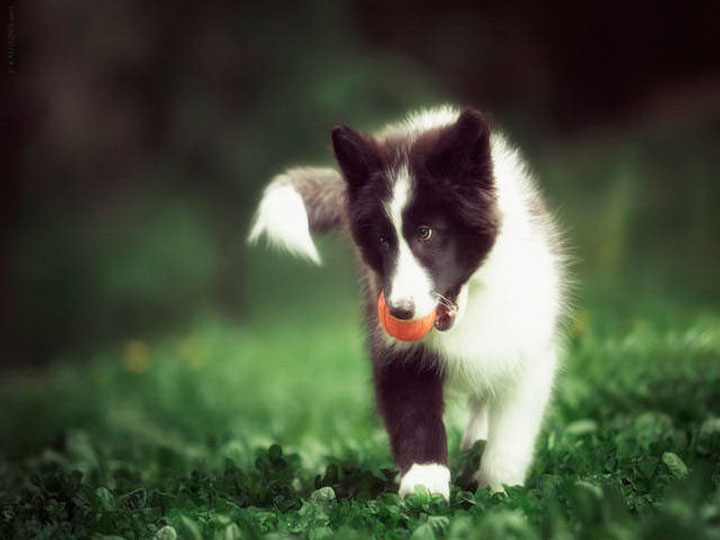 щенок якутской лайки