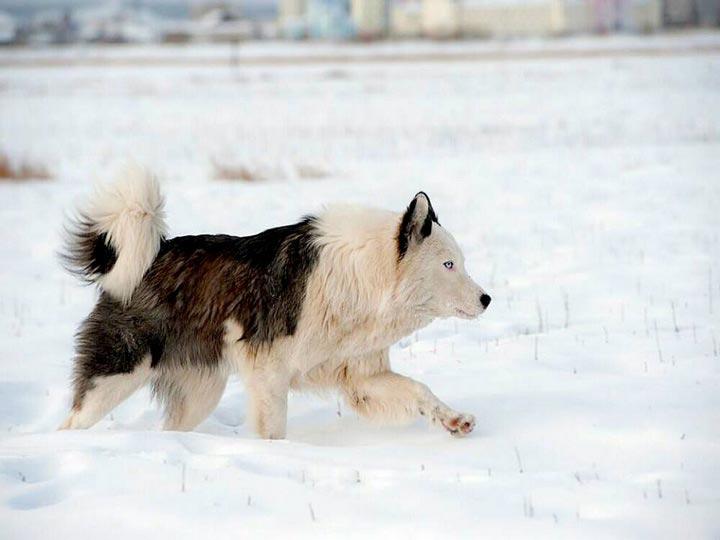 якутская лайка фото