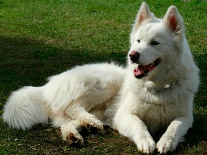 белая якутская лайка