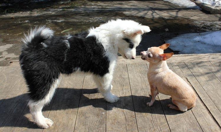 щенок якутской лайки и чихуа