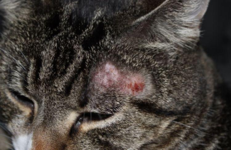 Признаки аллергии у кошки