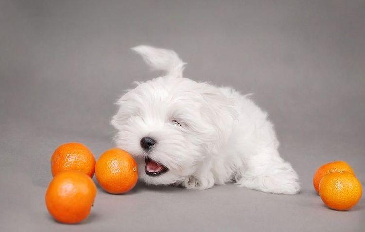 Белый пес ест апельсины