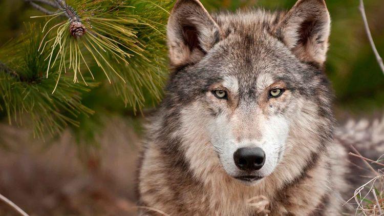 Волк в еловых ветках
