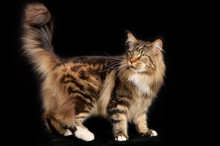 Кот с пушистым хвостом