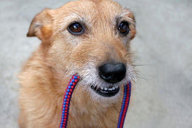 Собака с веревкой в зубах