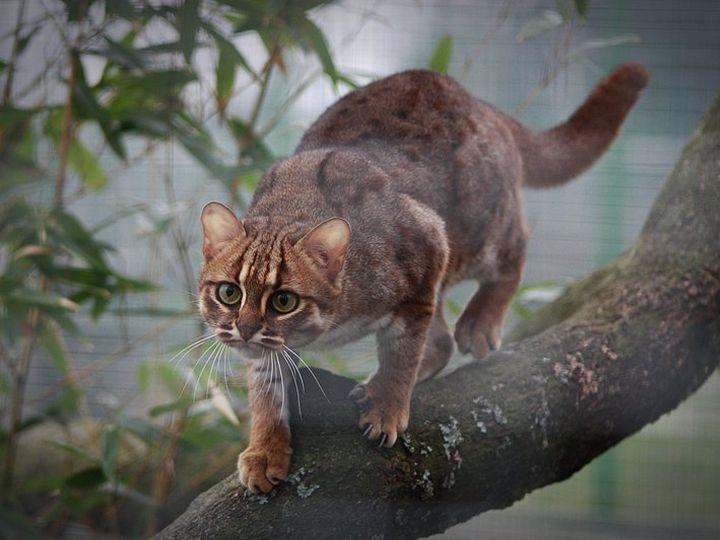 Ржавая кошка идет по ветке