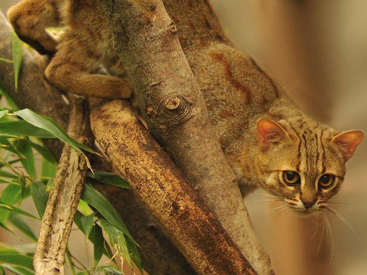 Ржавая кошка охотится