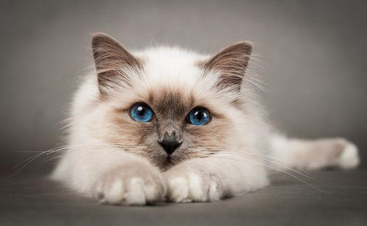Бирманская или храмовая кошка (священная бирма)