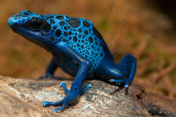 Опасная лягушка голубой древолаз