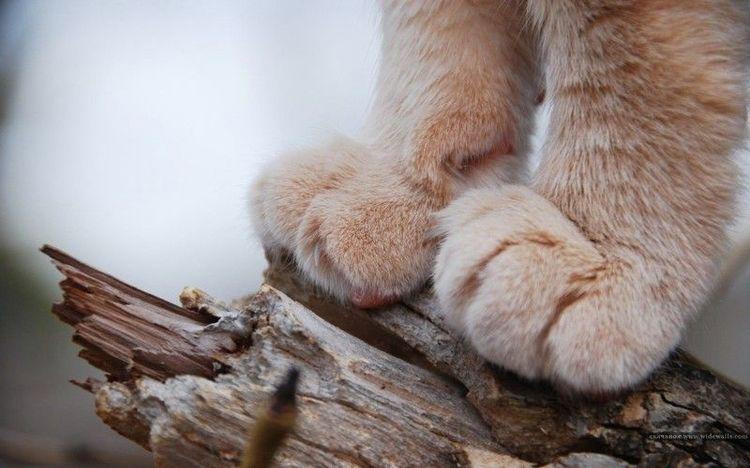 Кошачьи лапы