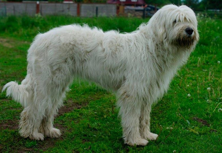 Южнорусская овчарка белая