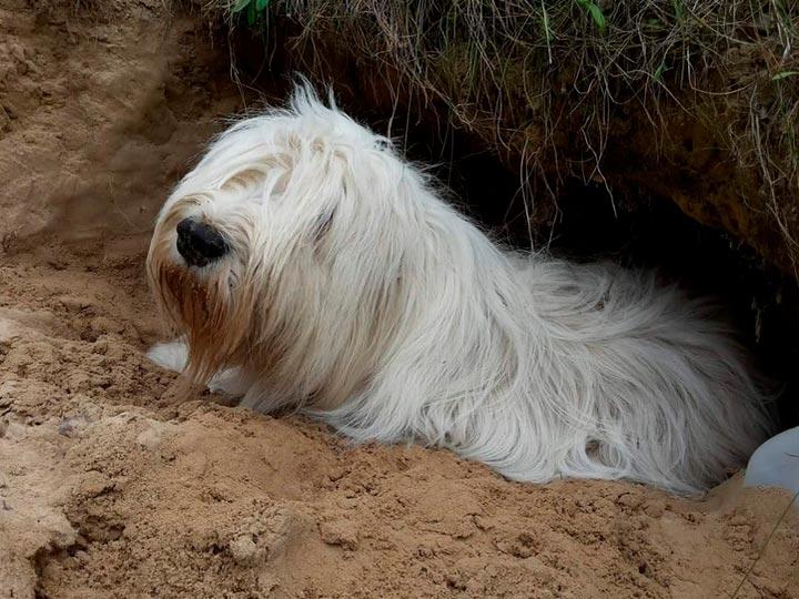 Южнорусская овчарка в яме