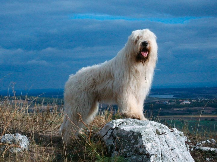 Южнорусская овчарка на камне
