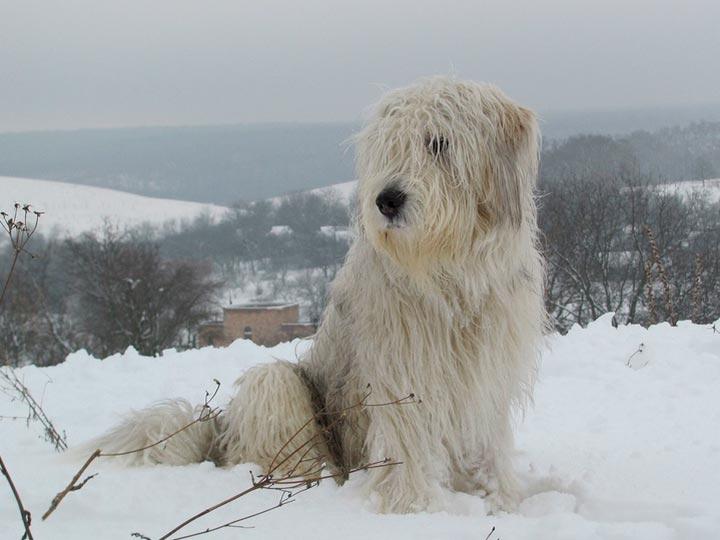 Южнорусская овчарка в снегу
