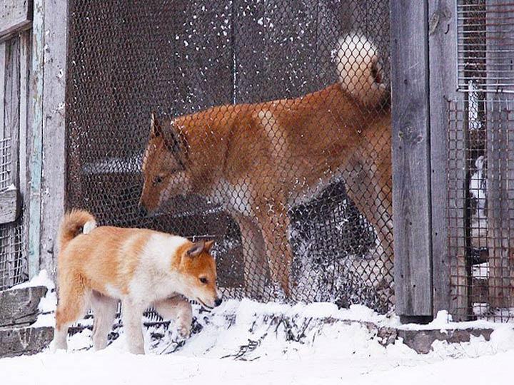 Западносибирская лайка со щенком