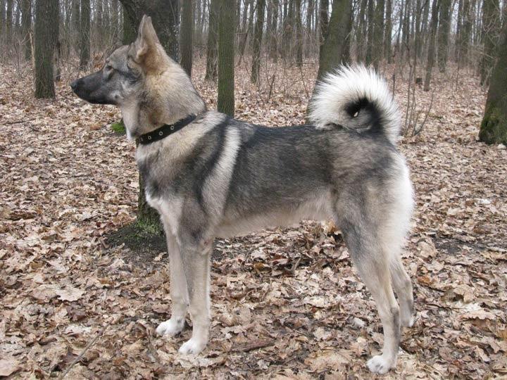 порода собак Западносибирская лайка